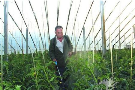 番茄叶面肥使用步骤及时间