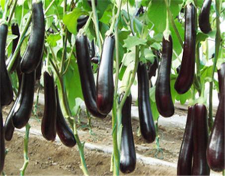 (3)提质抗病强,茄子在生长过程中不免会出现各种常见病害症状,这