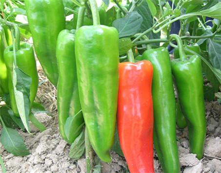 辣椒繁殖方法图解