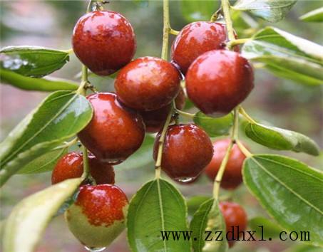 枣树什么时候浇水?叶面肥用法