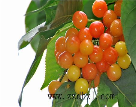「BOB赞助」樱桃蔬果后喷哪种叶面肥好?用法
