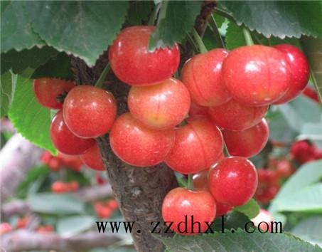 「BOB赞助」樱桃叶面肥用法用量