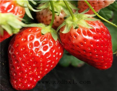 「BOB直播软件下载」草莓叶面肥喷施方法